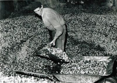 1973-chargement-des-olives-dans-le--grenier