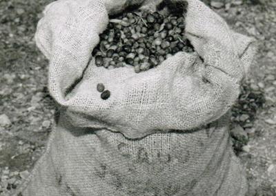 1973-sacs-d'olives-servant-au-transport-et-à-la-manutention-des-olives-jusqu'au-grenier